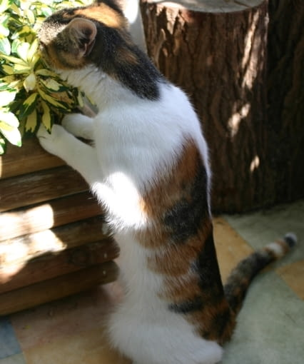 Kot na balkonie. Koty lubią używać doniczek jako kuwety
