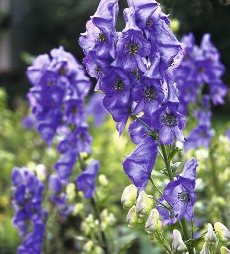 Tojad (Aconitum) kwitnie w lipcu i w sierpniu na pędach o wysokości 1-1,2 m.