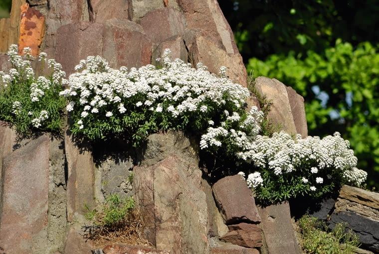 Ubiorek wiecznie zielony (Iberis sempervirens) jest jedną z pierwszych roślin kwitnących na skalniaku.
