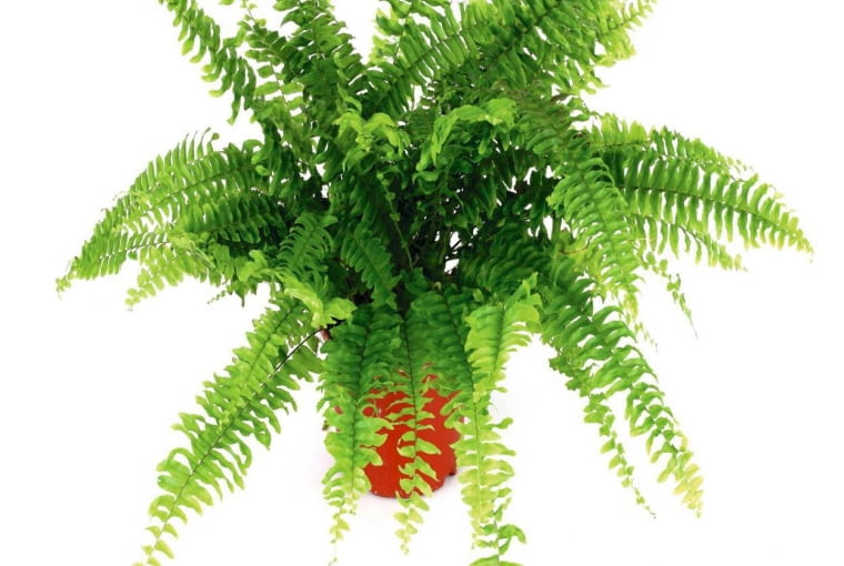 PAPROĆ NEFROLEPIS dobrze rośnie w świetle rozproszonym w stale wilgotnym podłożu. Nie lubi przestawiania.