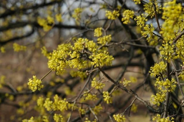 Dereń jadalny (Carnus mas) - kwiaty