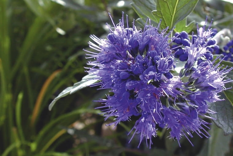 BARBULA KLANDOŃSKA 'KEW BLUE'