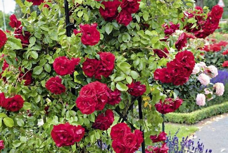 Róża pnąca Amadeus.