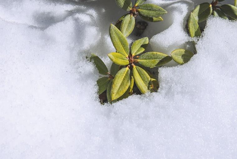 DOBRĄ OSŁONĄ przed mrozem jest dla młodych roślin kołderka ze śniegu.