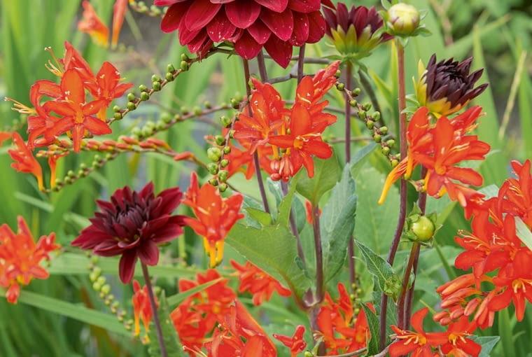 'Arabian Night' - dalia dekoracyjna, wys. 90-120 cm, śr. 'kwiatu' 10 cm.