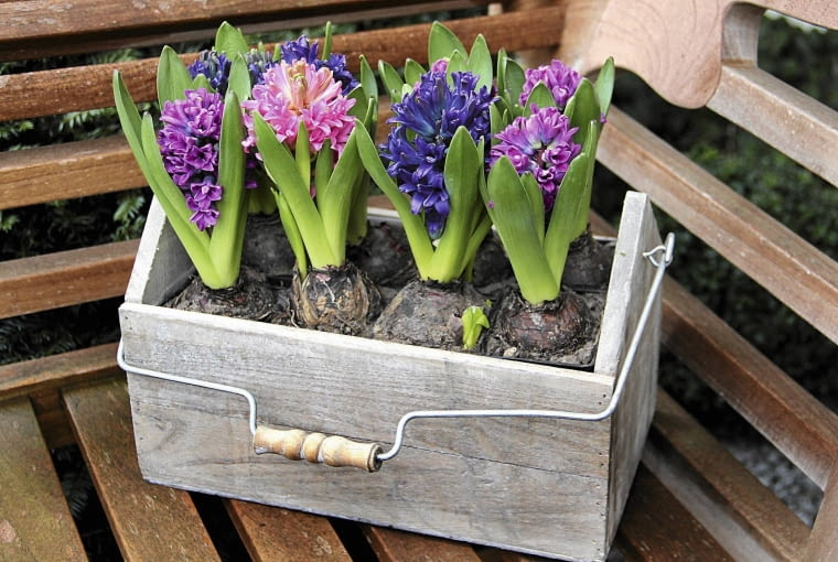 Hiacynty zdobią skrzynki kwiatami o intensywnym słodkim zapachu.