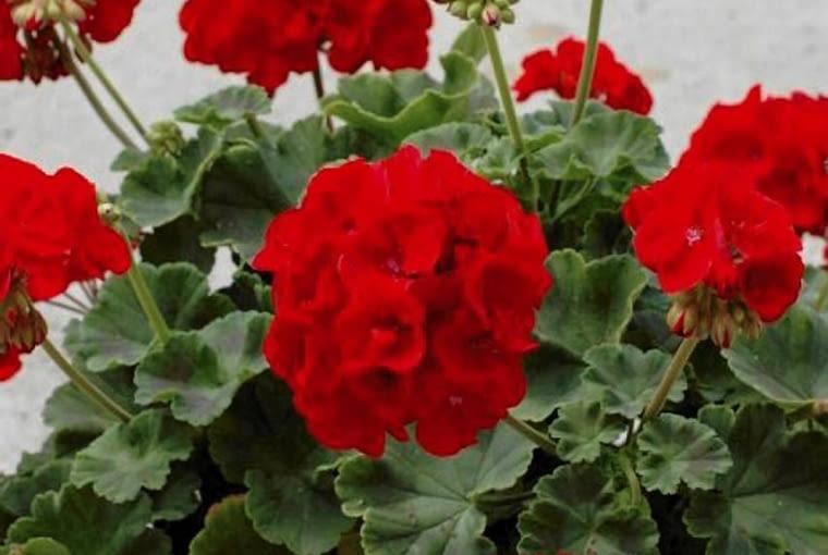 Pelargonia rabatowa 'Trend Dark Red'