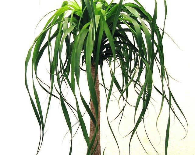 Nolina (Beaucarnea) - elegancka i bardzo łatwa w uprawie. Lubi słońce.