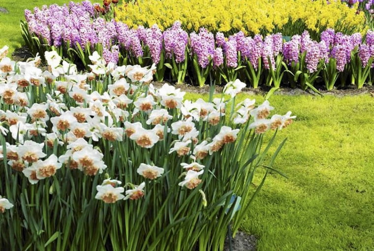 Kwiaty cebulowe najlepiej sadzić w grupach. Im większych, tym lepiej