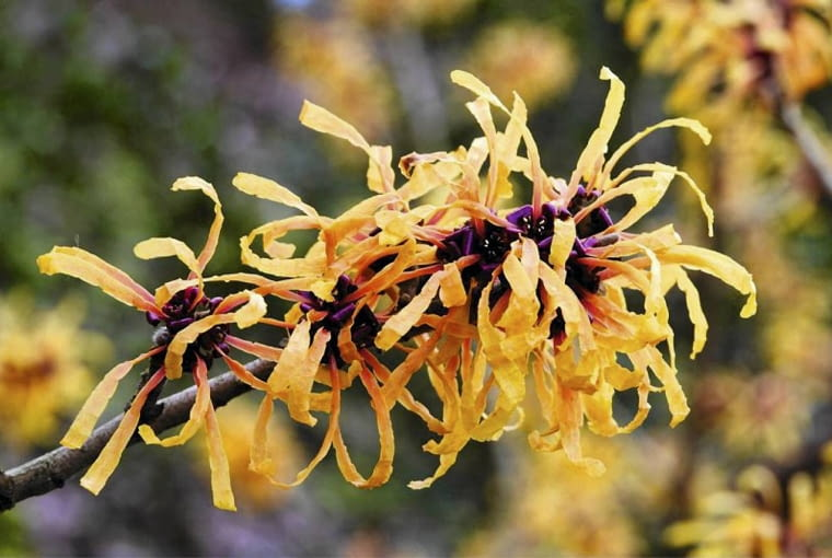 Oczar odmiana 'Harry' o dwubarwnych kwiatach. U nasady płatki są ceglastoczerwone a na końcach żółto-pomarańczowe