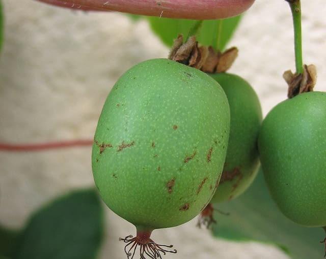 Aktinidia 'Weiki'- odmiana żeńska, polskie kiwi