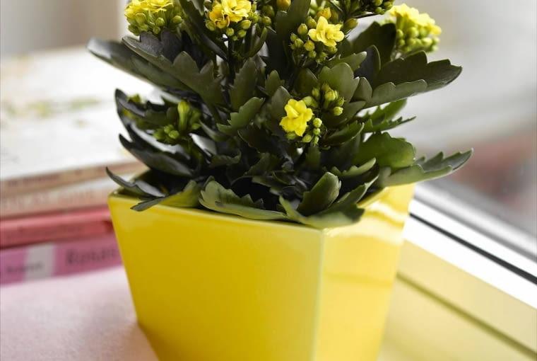 Kalamchoe to roślina krótkiego dnia. Z natury zakwita późną jesienią.