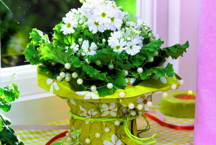 pierwiosnek ślimakowaty 'Beauty White' tworzy 8-10 kwiatostanów o wysokości 15-20 cm.