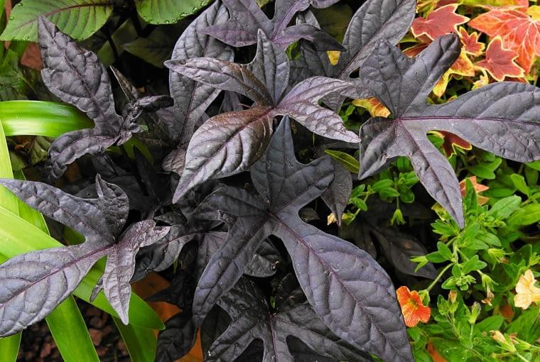 Sweet potato vine (Ipomoea batata) 'Blackie'. Aland Islands, Finland