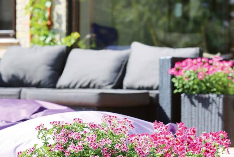 Wśród pelargonii są też odmiany drobnokwiatowe, których atutem jest obfitość kwitnienia.