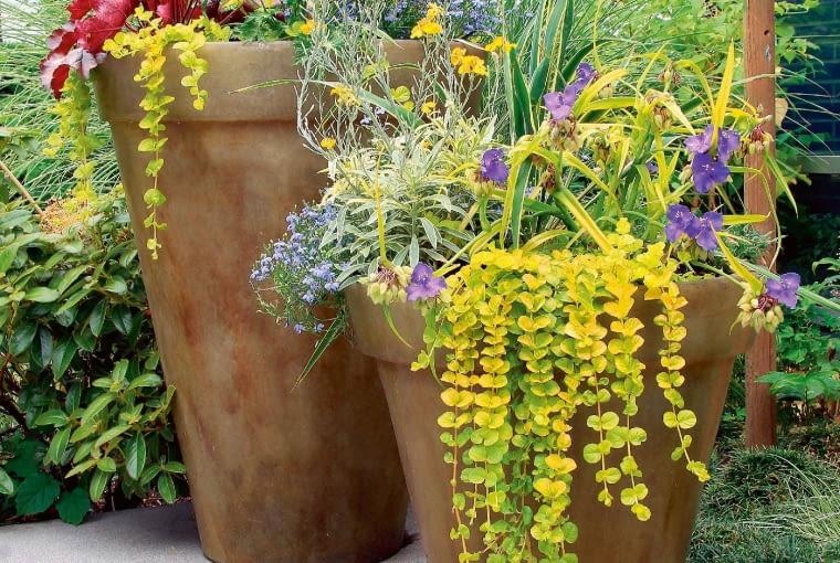 Wpojemnikach złociste kwiaty laku iliście tojeści rozesłanej kontrastują zfioletową trzykrotką wirginijską iczerwoną żurawką.
