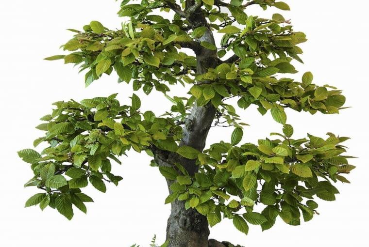 Grab pospolity nadaje się także do formowania bonsai