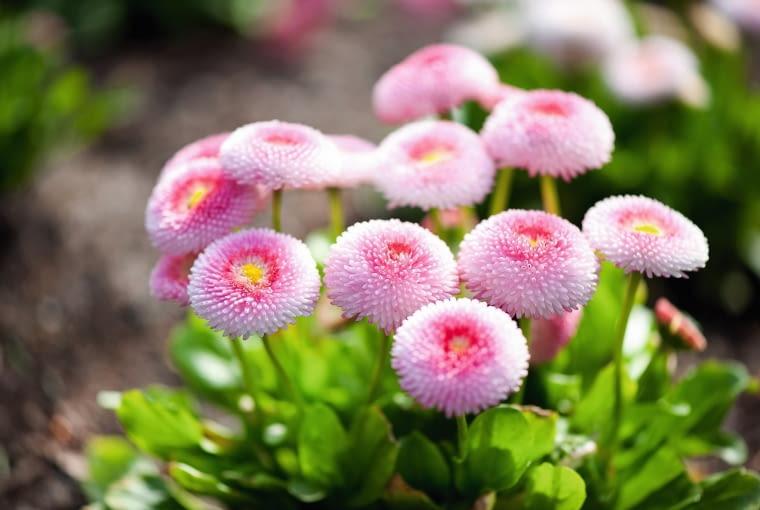 Stokrotki są odporne na przymrozki. Rosnąc w gruncie, pokazują kwietne główki w lutym.