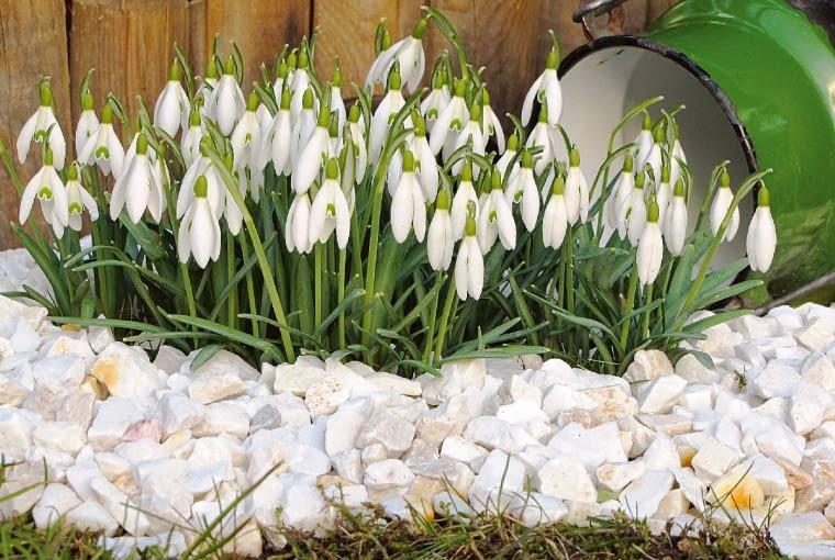 Przebiśniegi zwiastują wiosnę na długo przed jej rozkwitem.