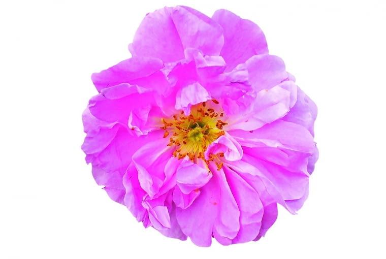 Róża dalmatyńska to stary gatunek mieszańcowy zkwiatami ośrednicy 7 cm. Ma sporo odmian parkowych.