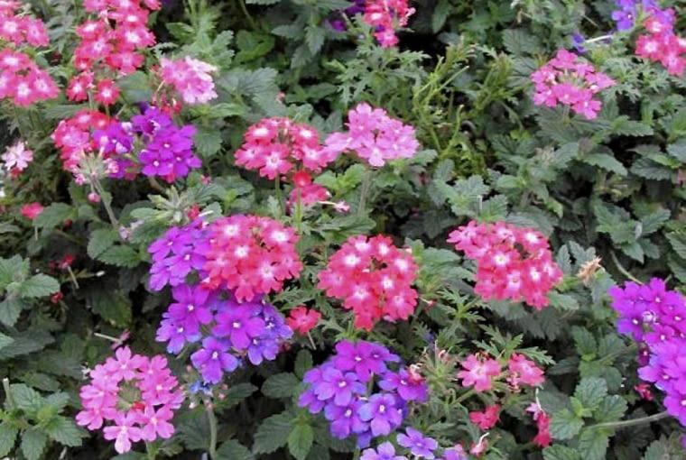 werbena, kwiaty balkonowe