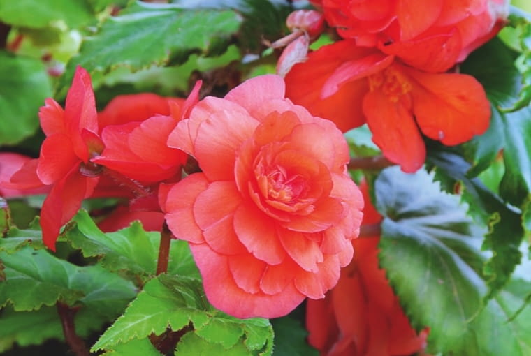 Begonia bulwiasta (Begonia Tuberhybrida) Dorasta do wysokości 30 cm i ma nawet kilkunastocentymetrowe kwiaty o barwie żółtej, łososiowej, czerwonej, różowej lub białej. Niektóre odmiany na tej samej roślinie tworzą kwiaty pełne (żeńskie) i pojedyncze (męskie). Wykopane bulwy przechowuje się przez zimę w temperaturze 10°C.