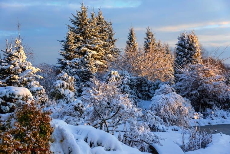 ZIMA JEST TU PEŁNA DOSTOJEŃSTWA - świerki dumnie prezentują swe potężne sylwetki, chronią też ogród przed wiatrem.