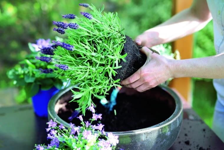 Kiedy przekwitną kwiaty wczesnej wiosny, tarasowe doniczki i pojemniki można obsadzić lawendą. W ciepłe dni będzie nas koić zapachem/Fot.: SHUTTERSTOCK.COM/ Robert Przybysz