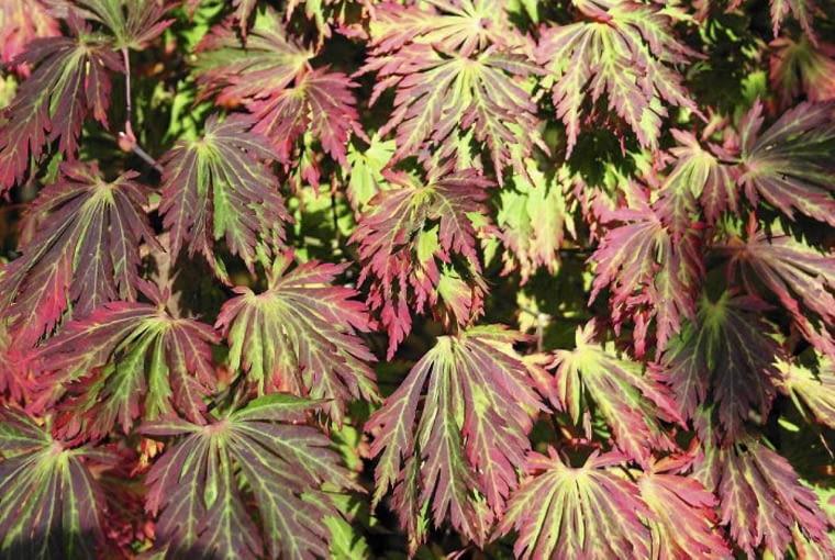 KLON JAPOŃSKI 'ACONITIFOLIUM' trudno pomylić z innymi ze względu na silnie powcinane, dekoracyjne liście. Dorasta do 4-6 m.