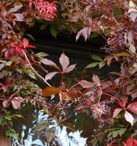 Winobluszcz pięciolistkowy odmiana murowa (Parthenocissus quinquefolia var. murorum)