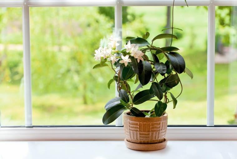 ROŚLINY PACHNĄCE. STEFANOTIS. Pnącze o białych kwiatkach, które wydzielają mocny aromat podobny do zapachu konwalii. Kwitnie zazwyczaj od wiosny do września. Nie toleruje przesuszenia, przeciągów i zmiany miejsca. Na złe warunki reaguje zwykle zrzucaniem liści.