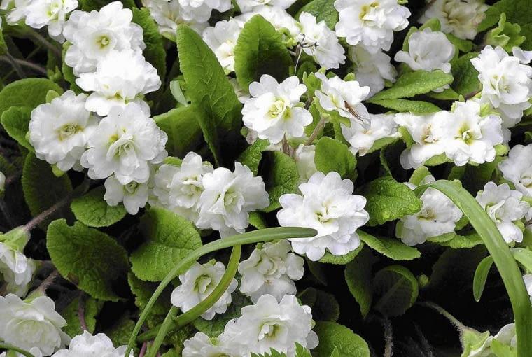 'WHITE PARADE' to odmiana pierwiosnka bezłodygowego o pełnych białych kwiatach. W ogrodzie rozrasta się w spore kępy.
