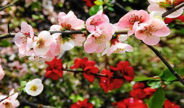 Pigwowiec okazały 'Toyo-Nishiki' ma na jednym krzewie kwiaty białe, różowe, a nawet czerwone.