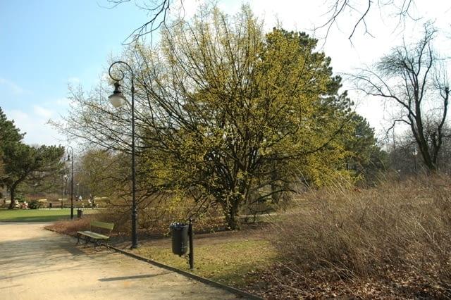 Dereń jadalny (Carnus mas) - drzewo