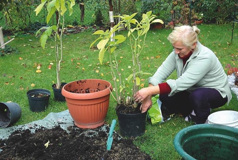 Datury dotąd rosnące w gruncie przesadzamy do doniczek, skracając korzenie oraz za długie pędy. Zimą odpowiada im temperatura ok. 10°C (nie muszą mieć dostępu do światła).