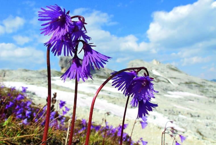 Urdzik alpejski na górskiej łące w Alpach rozrasta się łanami. Kwitnie wczesną wiosną.