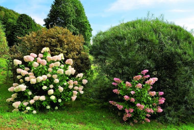 Jesienne atrakcje - kwitnące hortensje bukietowe.