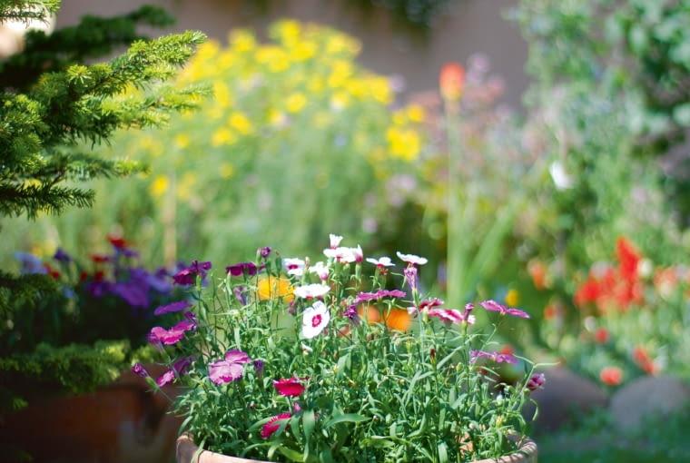 Miły sezonowy detal - donica zpachnącymi goździkami ogrodowymi (Dianthus caryophyllus).