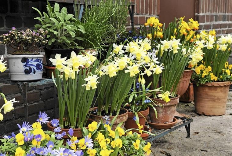Mobilny wiosenny ogród na balkonie lub tarasie pełen narcyzów, bratków, cebulic i zawilców greckich.