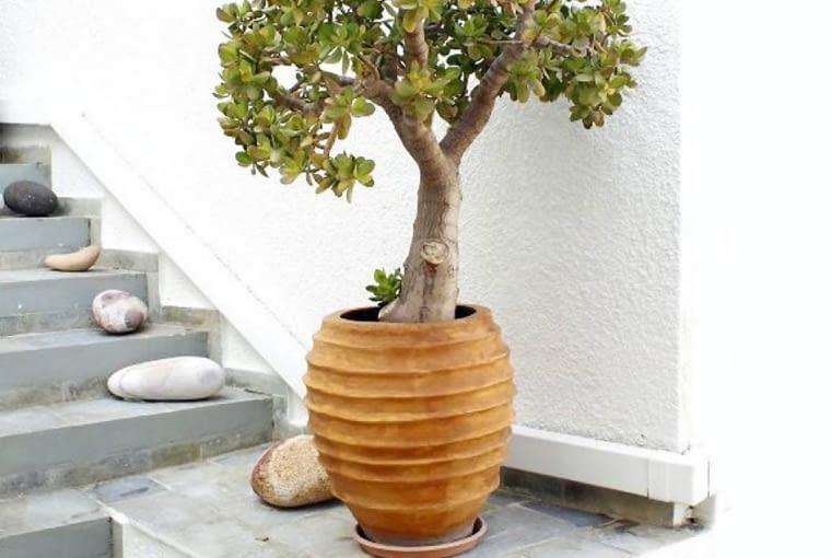 Grubosz jajowaty inaczej drzewko szczęścia. Lubi słońce, jest odporny na suszę.