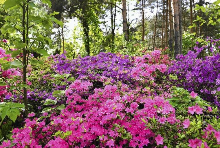 Wiosenne kwitnienie różaneczników jest w Arboretum dorocznym świętem.