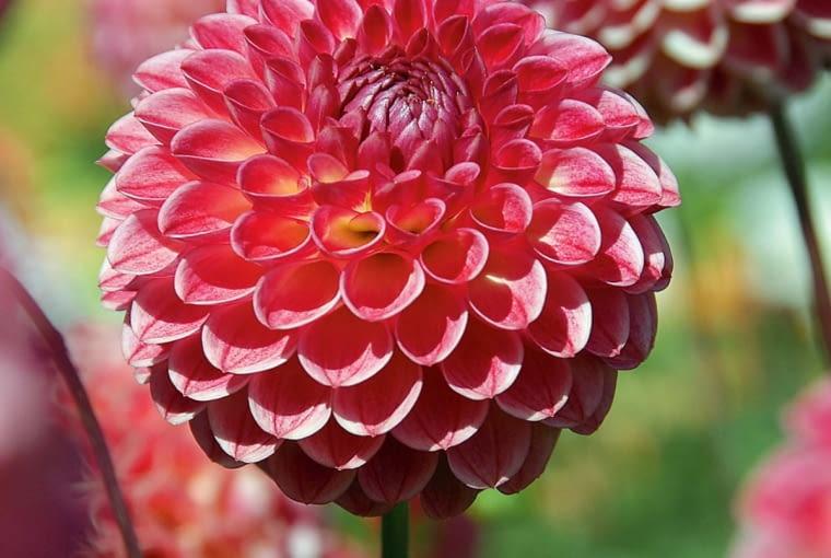 'Joost Champion' - dalia kulista, wys. 90-120 cm, śr. 'kwiatu' 10 cm.