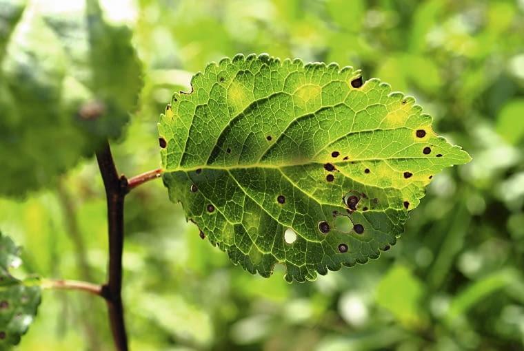 Bakteryjna plamistość liści