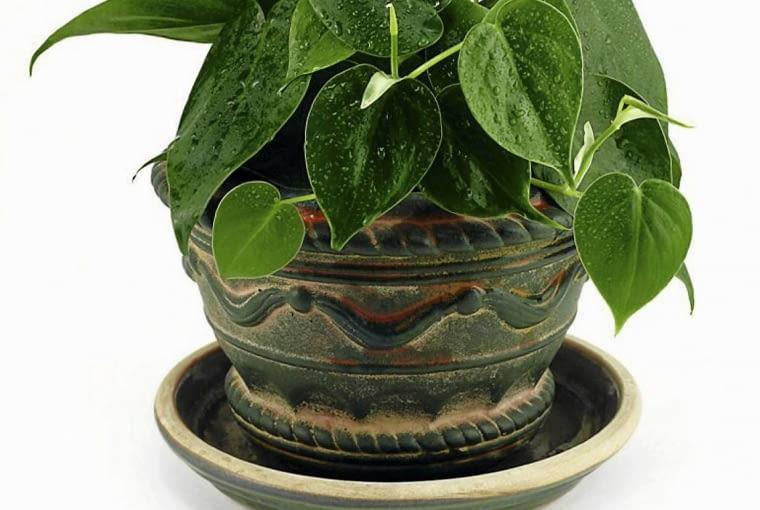 Rośliny na zabudowany balkon. Filodendron pnący lubi ciepło i wilgotną atmosferę. Może piąć się po podporach lub zwisać.