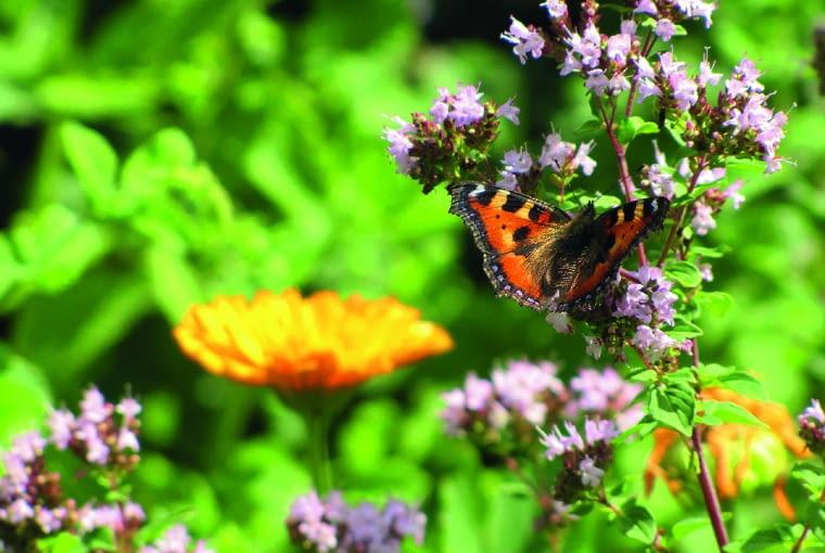 Pachnące barwne rośliny wabią mnóstwo motyli.