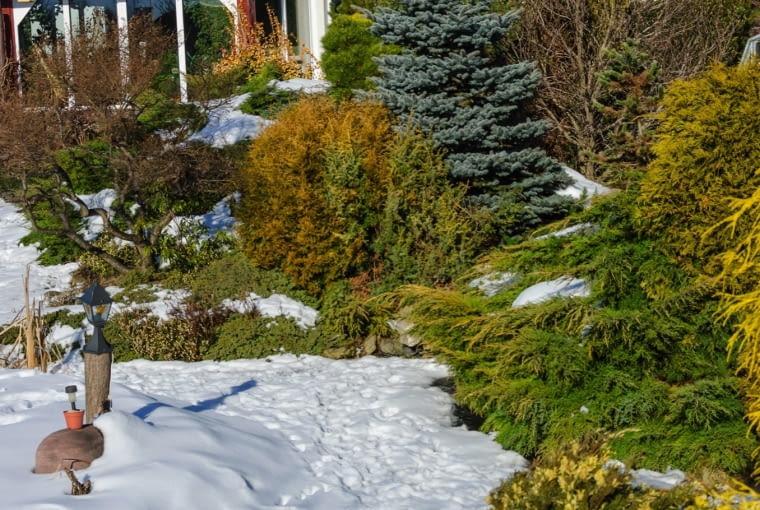 NA PRZEDWIOŚNIU spod topniejącego śniegu wyłaniają się różnobarwne iglaki.