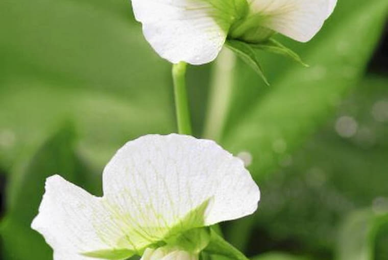 Kwiaty groszku. W warzywnikach szczególnie ładnie wyglądają wysokopienne odmiany tej rośliny