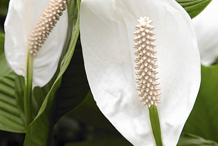 Skrzydłokwiat. Cenimy go za duże dekoracyjne liście i podobne do żagli kwiatostany, które zdobią roślinę od wiosny do wczesnej jesieni. Skrzydłokwiaty zależnie od odmiany dorastają do 30-80 cm. Dobrze się czują w lekko zacienionych miejscach, w temperaturze pokojowej. Latem podlewamy je dosyć obficie, zimą oszczędnie, zawsze letnią wodą.