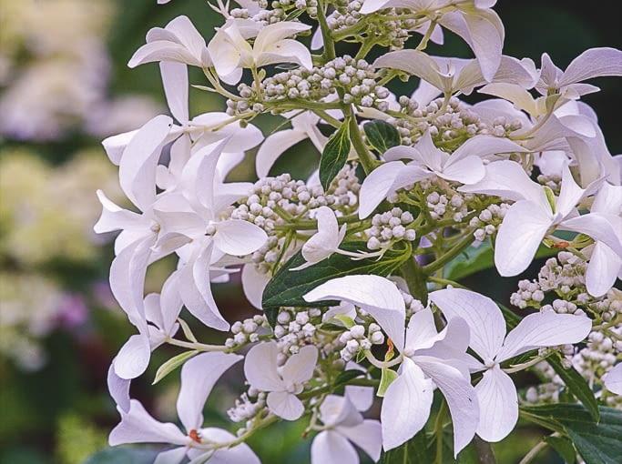 !Hydrangea paniculata `Great Star`