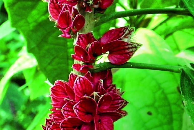 Pavonia cauliflora tworzy kwiaty na zdrewniałej części pędów.